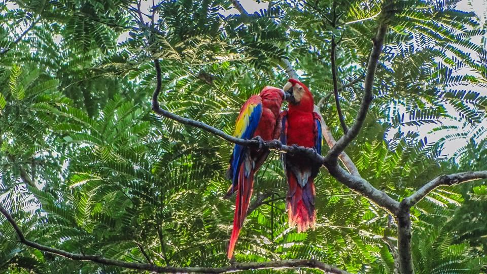 Endangered Scarlet Macaw