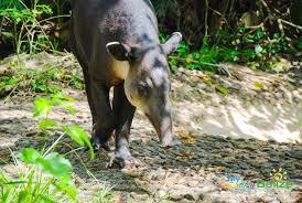 Taipir– the National Animal of Belize