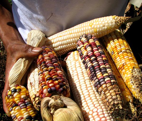 Maya Corn