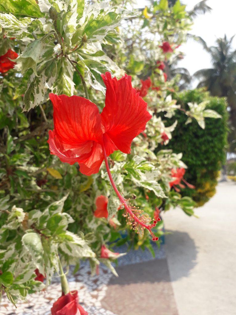 Belize island resort hibiscus